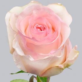 Роза Нежно-Розовая (50 см.) фото