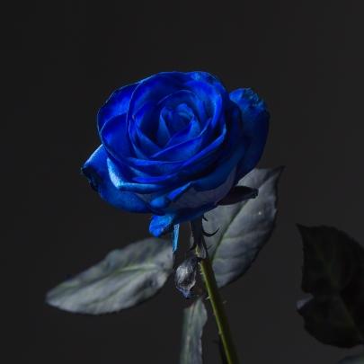 Роза синяя Голландия (70 см) поштучно фото