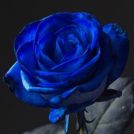 Роза синяя Голландия (60 см) поштучно фото