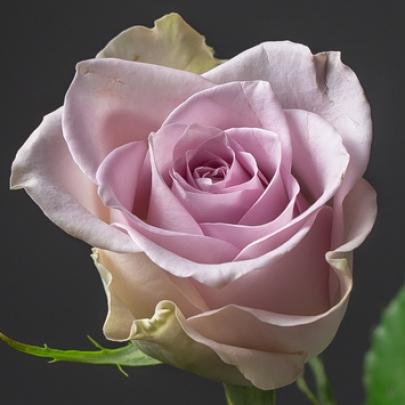 Роза Сиреневая Кения (30-40 см.) фото