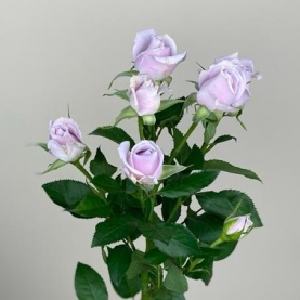 Роза Сиреневая Кустовая (60 см.) фото