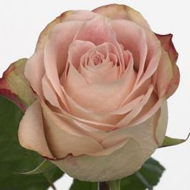 Роза Upper Secret Кения (30-40 см.) фото