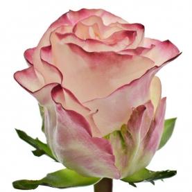 Роза Very Cute Кения (30-40 см.) фото