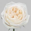 Роза Пионовидная White O'hara (30-40 см.)