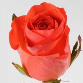 Роза Ярко-Оранжевая (50 см.) фото