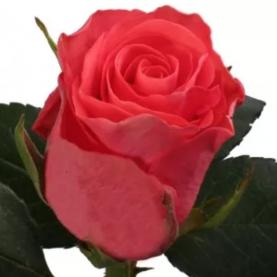 Роза Ярко-Коралловая (30-40 см.)