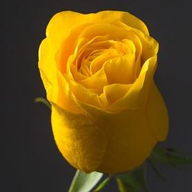 Роза желтая Эквадор (70 см) поштучно фото