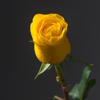 Роза желтая Эквадор (50 см) поштучно фото
