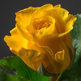 Роза желтая Кения поштучно фото