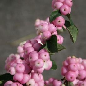 Симфорикарпус Розовый фото