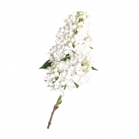 Сирень белая фото