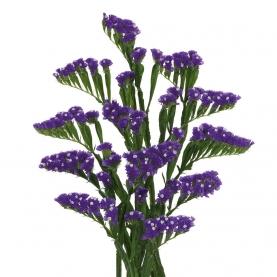Статица Фиолетовая фото