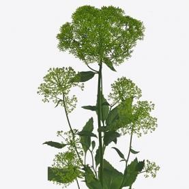 Трахелиум Briba Green фото