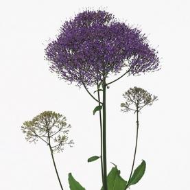 Трахелиум Supreme Purple фото