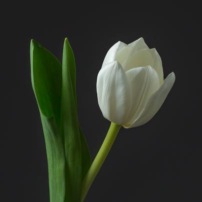 Тюльпан белый поштучно фото