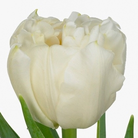 Тюльпан Белый Пионовидный фото