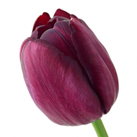 Тюльпан Бордовый фото