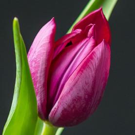 Тюльпан фиолетовый фото