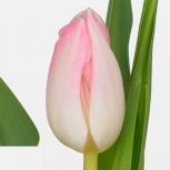 Тюльпан (First Class)