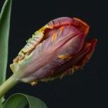 Тюльпан Красно-Зеленый