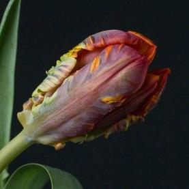 Тюльпан Красно-Зеленый Махровый фото