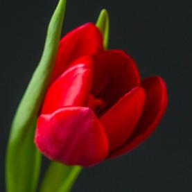 Тюльпан красный поштучно фото