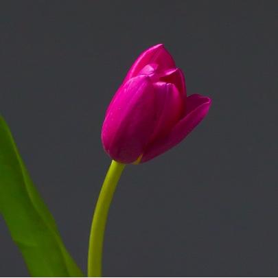 Тюльпан Малиновый фото