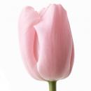 Тюльпан Нежно Розовый
