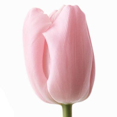 Тюльпан Нежно Розовый фото