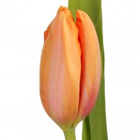 Тюльпан Оранжевый фото