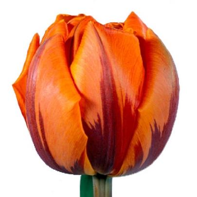 Тюльпан Оранжевый Пионовидный фото