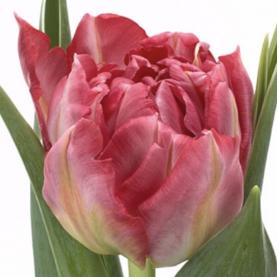 Тюльпан Пионовидный Flash Point фото