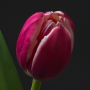 Тюльпан Малиново-Белый