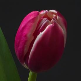 Тюльпан Малиново-Белый фото