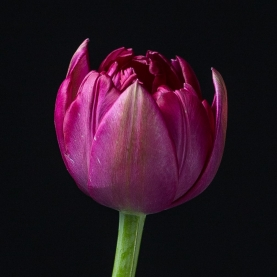 Тюльпан Фиолетовый Пионовидный фото