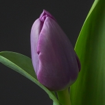 Тюльпан Сиреневый