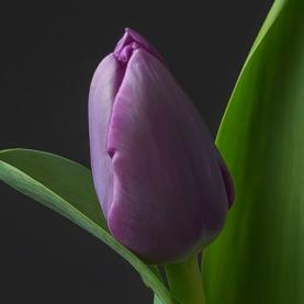 Тюльпан Сиреневый фото