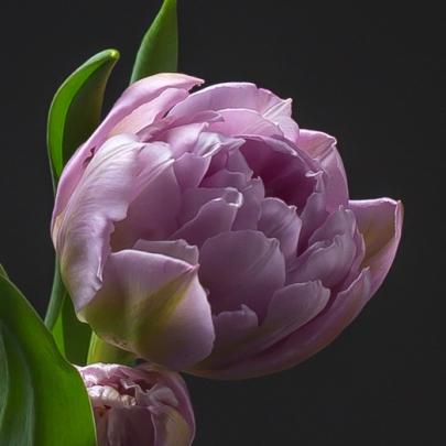 Тюльпан Сиреневый Пионовидный фото