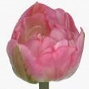 Тюльпан Светло Розовый Пионовидный