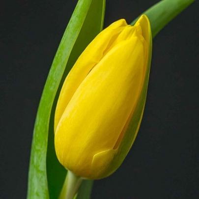 Тюльпан Желтый поштучно фото
