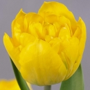 Тюльпан Пионовидный Желтый