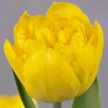 Тюльпан Желтый Пионовидный