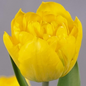 Тюльпан Желтый Пионовидный фото