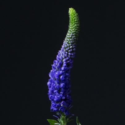 Вероника Фиолетовая фото