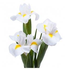 Ирис белого цвета